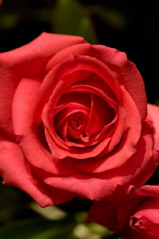 Uma rosa para todas as Rosas do jardim de Maria, a Rosa das Rosas. Em latim: Rosa Rosis horti Mariae, Rosa rosarum.